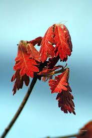 White Oak Leaf White Oak Leaves Natural Areas Notebook