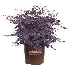 southern living plant collection 3 gal purple diamond loropetalum