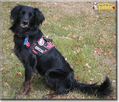australian shepherd service dog ember the australian shepherd golden retriever mix dog of the