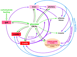 the network of glucokinase expressing cells in glucose homeostasis
