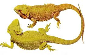 breeding bearded dragon morphs