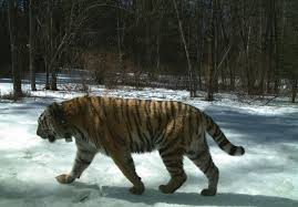 can the siberian tiger a comeback science smithsonian