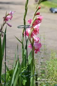 Gladiolus Flowers How To Keep Your Gladiolus Flowers From Falling Over