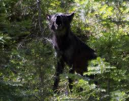 Oregon wild animals images Wolves 39 return to oregon brings conflict and opportunity jpeg