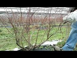 mirtillo in vaso coltivazione mirtillo la potatura invernale