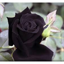 black roses black seeds buy black seeds online the black