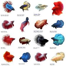 Betta Fish Decorations Tropical Fish Clipart Betta Fish Pencil And In Color Tropical