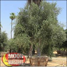 moon valley nursery olive tree fruitless olive olea europaea