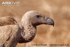 Seeking Vulture White Backed Vulture Photo Gyps Africanus G30140 Arkive