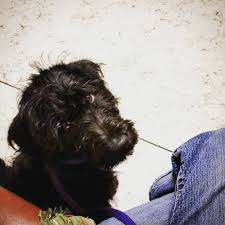 affenpinscher good bad bakers acres k9 academy dog training serving utah county
