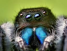 jumping spider wikipedia