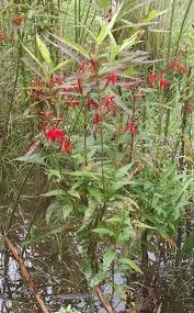 native plants in maryland crimson cardinalis in the rain garden u2013 maryland wild plants u2013 medium
