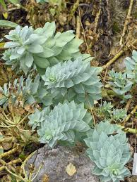 utah native plant society euphorbia myrsinites wikipedia