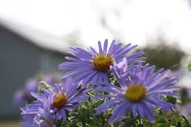 east texas native plants fall asters