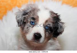australian shepherd 4 weeks old miniature australian shepherds stock photos u0026 miniature australian
