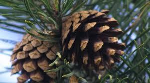 scots pine scottish wildlife trust