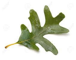 White Oak Leaf White Oak Quercus Alba Leaf Isolated On White Background Stock