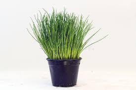erba cipollina in vaso erba cipollina pianta in vaso contro un fondo grigio chiaro con