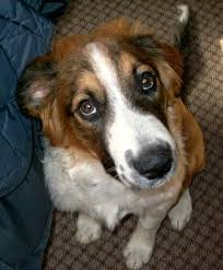 lifespan of australian shepherd english shepherd breed information history health pictures and