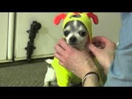 Chihuahua Halloween Costumes Chihuahua Halloween Costume Fiasco