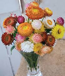 straw flowers mixed colors strawflower seeds and plants annual flower