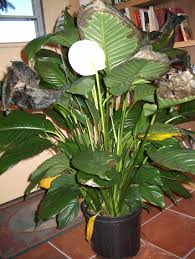 Indore Plants Spathiphyllum Leaf Problems U2013 Peace Lilies With Brown And Yellow