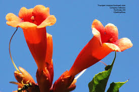 plants native to ontario attract hummers and other pollinators with trumper vine birds