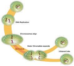 mitosis read biology ck 12 foundation