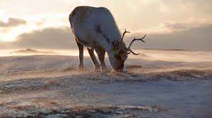 reindeer are shrinking because of warmer arctic temperatures