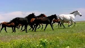 herd horses running on steppes in background cloudy sky