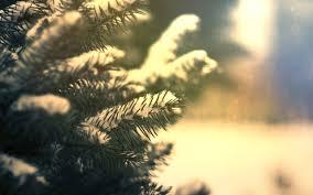 awesome beautiful fir tree hd wallpaper free download
