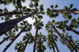 looking up at palm trees san jose california usa stock photo