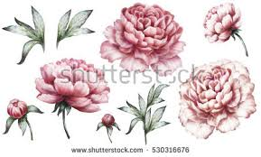 peonies flowers peony flower stock images royalty free images vectors