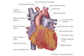 Heart Anatomy And Function Anatomy Of The Heart Diagram View