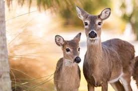 epa gives thumbs up on vaccine to manage deer populations humanely
