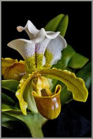 slipper flower mic uk a up view of a s slipper orchid