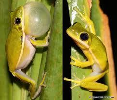 green treefrog floridamuseumscience