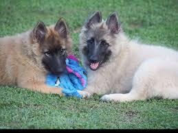 belgian sheepdog dog rescue aftershock belgians belgian tervuren puppies for sale