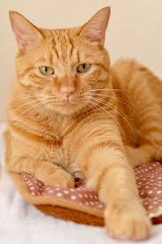 Pretty Orange 25 Best Orange Cats Ideas On Pinterest Cute Kitty Cats Orange
