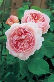 The Most Fragrant Plants - 492 best flowers fragrant images on pinterest flowers