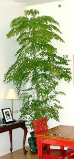 of china tree plantfiles pictures china doll serpent tree emerald tree