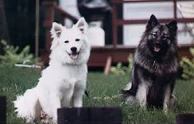 american eskimo dog odor what are some less popular breeds of dog quora