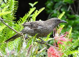 fairhill native plants little wattlebird birds in backyards