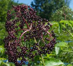 elderberry its way into the spotlight portland press herald