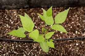 native arizona plants voices why do you grow tepary beans u2014 edible baja arizona magazine