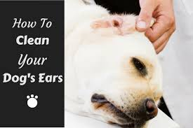 how to clean your labradors ears and why you should do it