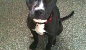 american pitbull terrier 7 months dash u2013 7 month old male staffordshire bull terrier dog for adoption