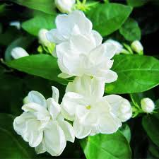Jasmine Flowers Jasmine Flower Seeds Picture More Detailed Picture About