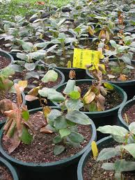 Mandevilla Plant Diseases - southern wilt in mandevilla the p u0026pdl picture of the week