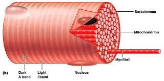 Anatomy And Physiology The Muscular System Muscular System Anatomy Mitchell U0027s Cosmic Adventure